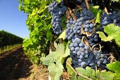 Vineyard and grapes Stock Photos