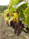 Vineyard and grapes, vintage Stock Images