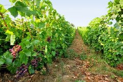 Vineyard with grapes Stock Photography