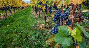 Vineyard and Grapes Royalty Free Stock Image