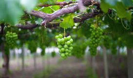 Vineyard grapes Stock Photography