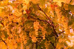 Vineyard and grapes. In autumn colours Royalty Free Stock Photos