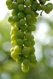 Vineyard Grapes Royalty Free Stock Images