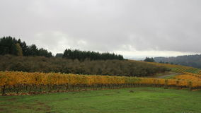 Vineyard with Grapes Bearing Vines in Fall Season Panning
