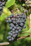 Vineyard with grapes Stock Images