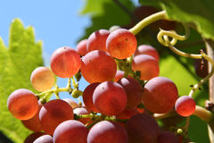 Vineyard with grapes Stock Photo