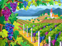 Vineyard and grapes bunches. Rural landscape with vineyard and grapes bunches vector illustration