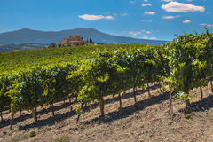 Vineyard with grapes Royalty Free Stock Photos