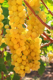 On a vineyard. Grapes clusters on a vineyard Stock Photos