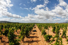Vineyard grapes field. Grapes field near the village of consell during grape harvesting season in the island of Mallorca, Spain stock photo