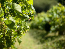 Vineyard grapes in France Royalty Free Stock Image