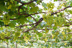 Vineyard grapes fresh in the vineyard. Vineyard grapes fresh in morning.wine grapes Royalty Free Stock Photo