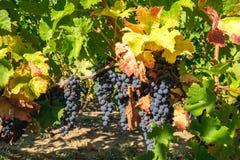 Vineyard grapes hanging in late harvesting season autumn Stock Image