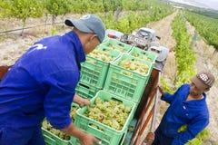 Free Vineyard Grapes Harvest Time Stock Image - 23290841
