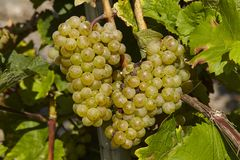 Vineyard - Grapes Stock Image