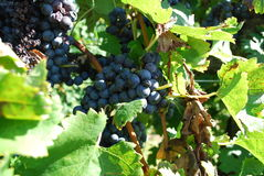 Vineyard grapes Stock Photography