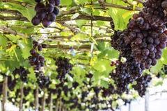 Vineyard grapes Stock Images