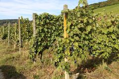 Grapes in the vineyard. The vineyard / Grapes are ripening in the vineyard Royalty Free Stock Photography