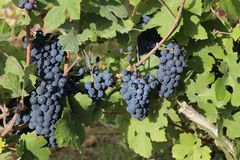 Grapes in the vineyard. The vineyard / Grapes are ripening in the vineyard Stock Photography