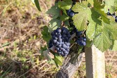 Grapes in the vineyard. The vineyard / Grapes are ripening in the vineyard Stock Images