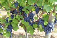 Grapes in the vineyard. The vineyard / Grapes are ripening in the vineyard Royalty Free Stock Image