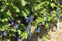 Grapes in the vineyard. The vineyard / Grapes are ripening in the vineyard Royalty Free Stock Photos