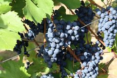 Grapes in the vineyard. The vineyard / Grapes are ripening in the vineyard Stock Image