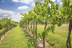 Vineyard with Grapes Stock Image