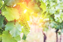 Vineyard with grapes and sun glow. In summer in south moravia in Czech Republic Stock Photo