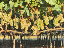 Vineyard. Grapes in the vineyard on the sunny day Royalty Free Stock Image