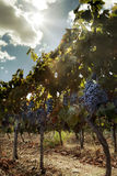 Vineyard. And grapes in a sunny day Royalty Free Stock Photo