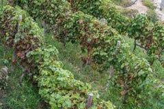 Vineyard Grapes trees royalty free stock photo