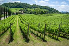 Vineyard of grapes in the Vale dos Vinhedos in Bento Gonçalves,. A gaucho wine Stock Photos