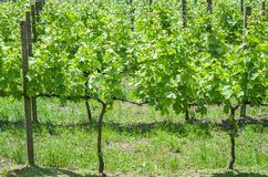 Vineyard of grapes in the Vale dos Vinhedos in Bento Gonçalves,. A gaucho wine Royalty Free Stock Images