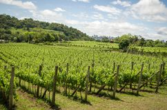 Vineyard of grapes in the Vale dos Vinhedos in Bento Gonçalves,. A gaucho wine Royalty Free Stock Photography