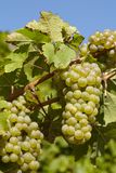 Vineyard - Grapes and vine leaves Royalty Free Stock Image