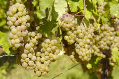 Vineyard - Grapes Stock Images