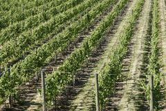 Vineyard Grapes Vines Royalty Free Stock Image
