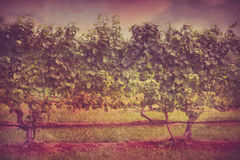 Vineyard Grapes Vintage Royalty Free Stock Image