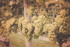 Vineyard Grapes Vintage Stock Images