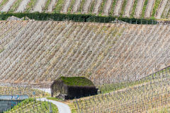 Vineyard. Grapevine field at the river Mosel in Germany with a mossy hut in spring Royalty Free Stock Image