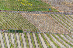 Vineyard. Grapevine field at the river Mosel in Germany in springtime Stock Image