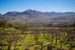 Vineyard when Grapevine flower. Elqui Valley, Andes part of Atacama Desert in the Coquimbo royalty free stock images