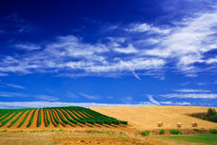 Vineyard or grapewine in tuscany italy Royalty Free Stock Images