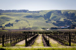 Vineyard in the grassy hills. New vines just starting out in the valley floor surrounded by grassy rolling hills Stock Photos