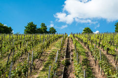 Vineyard with great blue sky Royalty Free Stock Photography