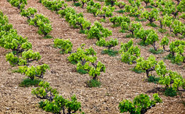 Vineyard in Greece Royalty Free Stock Images
