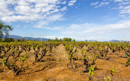 Vineyard in Greece Royalty Free Stock Photography