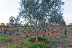 Vineyard in Greece Stock Image