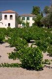 Vineyard in Greek island Stock Photography